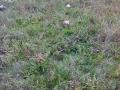 Czubajka kania - Macrolepiota rhacodes.jpg